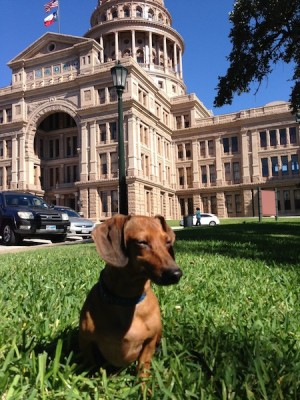 Bootsy smizing in front of the Texas Capitol and showing us what a vogue dog (dogue?) he is.
