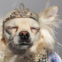 chihuahua wearing crown