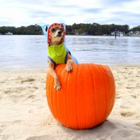 Chihuahua in shark costume, inside of a pumpkin, at the beach.