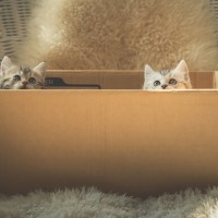 Cute tabby kittens  in a box