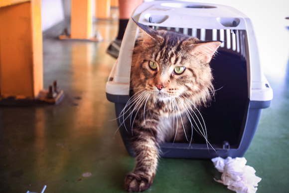 Black cat Maine coon in a pet carrier