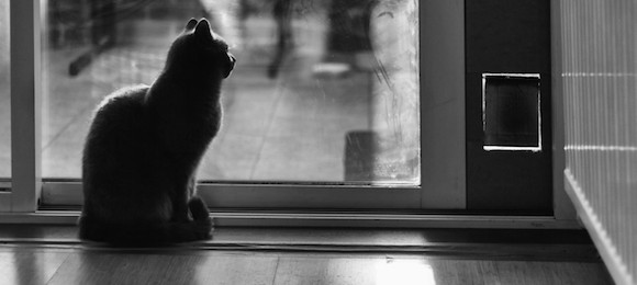 Pet cat waiting, looking through window in black and white